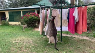Kangaroo Helps with Clothes