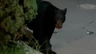Small Dog Scares Black Bear