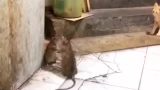Rat Fight - Video