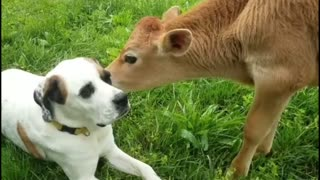 Cow playing on The Dog's Face And Sitting