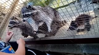 Really cute raccoon