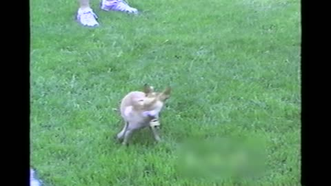 Man Pretends To Wind Up Chihuahua Sends Him Spinning After His Tail