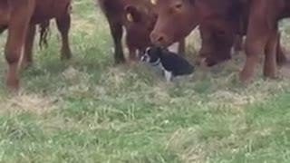 Small black and white dog with brown cows - Video