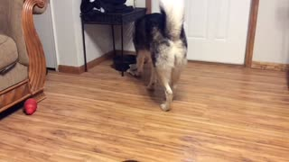 Siberian Husky Trying to Play with Bone! Funny Video  - Video