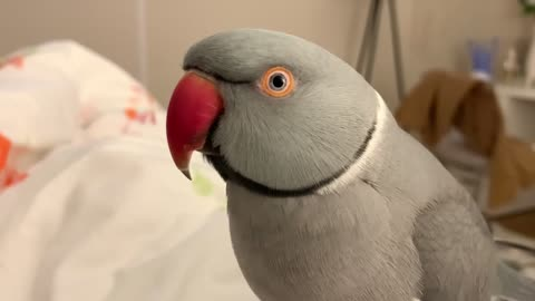 "Cute talking parrot says that he's a ""poopie"""