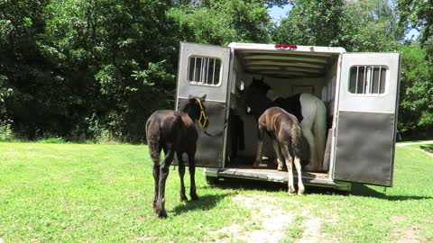 Sweet colt climbs into trailer for the 1st time on his own