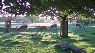 Wonderful Deer in Richmond Park - London. A Dream and Serene Location  - Video