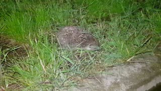 Encounter with a beautiful hedgehog