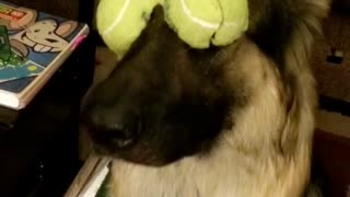 German Shepherd hilariously balances tennis ball on her eyes