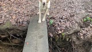 Dog helps his sibling cross the river