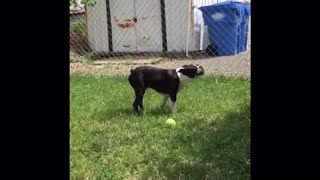 Boston Terrier Enjoys Some Ice on a Hot Day  - Video