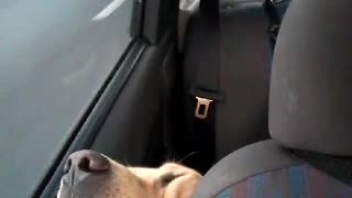 Pups Passed out in Car - Video