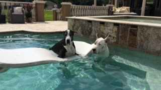 Max and Katie the Great Danes enjoying lounging in the pool