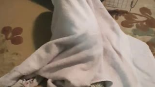 Little puppy battles to escape bath towel   - Video