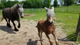 Frustrated foal can't figure out how to roll like adults