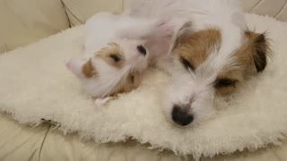 Playful Jack Russell Puppy!  - Video