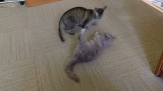 Fight Club - Two Cats Go Paw-To-Paw - Video