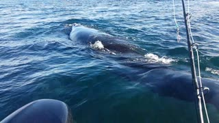 Close Encounter With Southern Right Whales