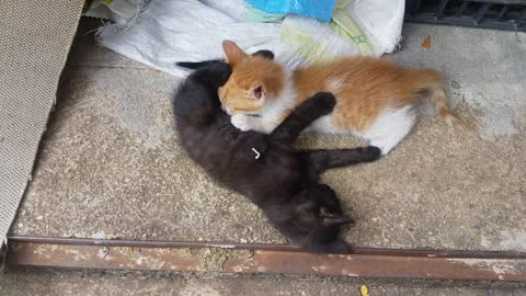 Two cats play around