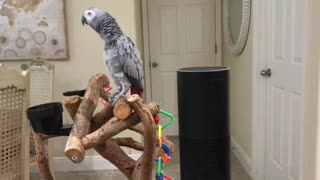 Petra the African Grey turns all Lights off with Alexa - Video