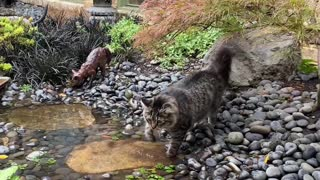 Cat Crossing Indoor Stream Not Fond of Water