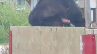 Bear Jumps Fence and Flees