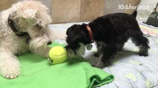 Black puppy takes away ball from white dog  - Video