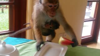 Monkey mom snatches epic meal for baby - Video