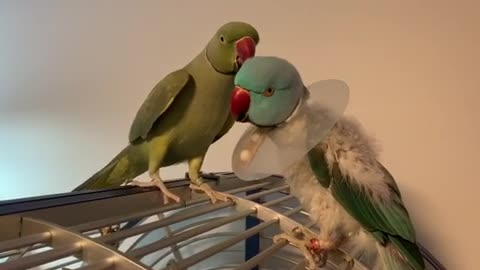 Indian Ringneck Parrot takes care of baby brother