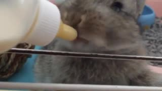 Baby bunny preciously drinks milk from bottle - Video