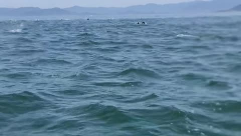 Speed Boat Surrounded by Dolphins