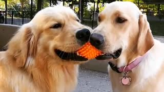 Two golden labrador dogs hold unto an orange ball together