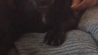 Black dog on couch growls - Video