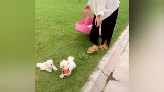 Owning the smallest dog in the world | Cute & Funny pomeranian dogs