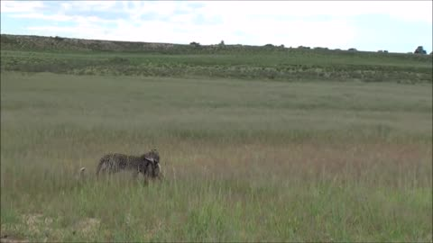 Young Leopard hunts a bat eared fox