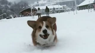 Corgi sprinting towards camera forgets to hit the breaks - Video