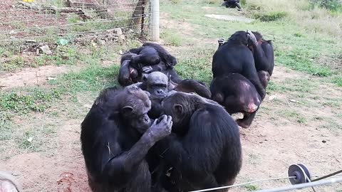 Chimps groom eachother in preparation for the weekend