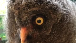 Baby owl gets love and attention from caretaker