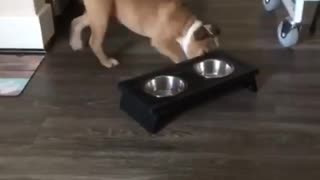 Brown dog pushing food bowl around in circle