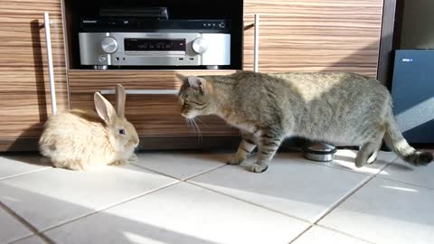 Kitten meets bunny, best friendship ensues