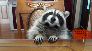 Raccoon sits at the table and eats rice cake.