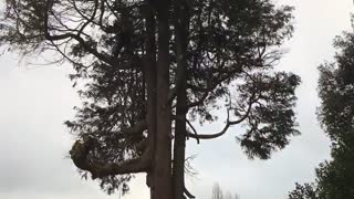 Tree Dismantle Time Laps - Video