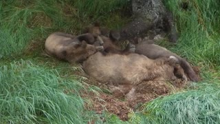 Sleeping Grizzly Family - Video
