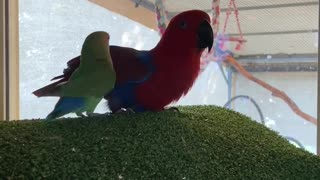 "Talking parrot woos little conure, repeatedly calls him a ""good boy"""