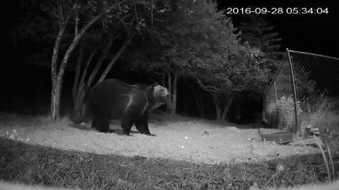 A Large Grizzly Messing With My Security Camera