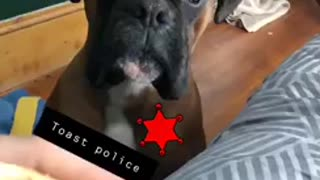 Boxer dog poses as toast police