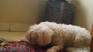 Fluffy white dog on red rug catches treat mid air - Video