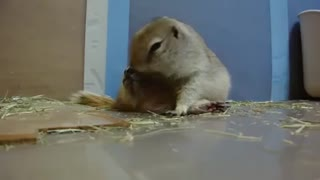 Prairie dog overeat Cucumber - Video