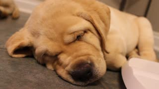 Labrador puppy snores as loud as an old man!