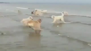 Group of goldens jumbing on water & Spend great time with dogs on beach